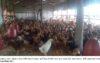 আমতলী-তালতলীতে পোল্ট্রি শিল্পে ধস! সহজ শর্তে স্বল্প সুদে ঋণের দাবী খামারীদের