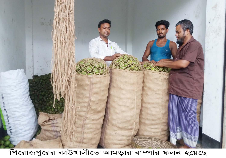 পিরোজপুরের কাউখালীতে আমড়ার বাম্পার ফলন হয়েছে